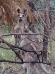 Australia - Carnarvon Gorge National park - IMG_6215