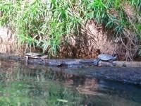Australia - Daintree Rainforest, Blue Hole, Thronton Beach - IMG_5322