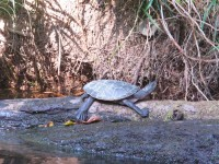 Australia - Daintree Rainforest, Blue Hole, Thronton Beach - IMG_5323