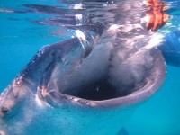 Philippines  - Oslop - Whale shark dive - IMG_9902